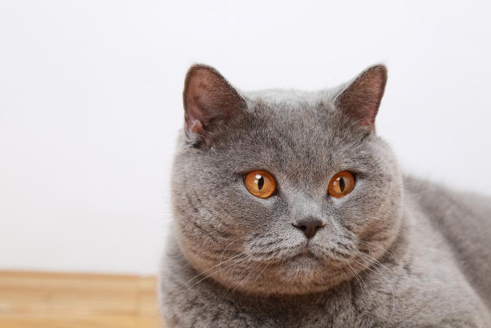FULFULLY CAT BREEDS