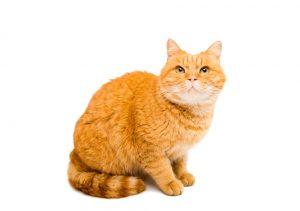 ORANGE CAT BREED