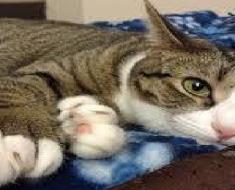 GIANT CAT BREEDS