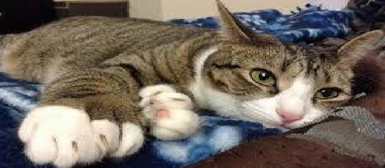 DOMESTIC GIANT CAT BREEDS CATS VENTURE