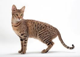 biggest domestic cats