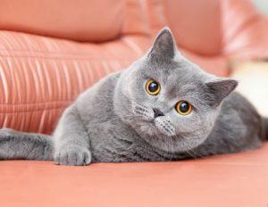 BRITISH SHORTHAIR CATS VENTURE