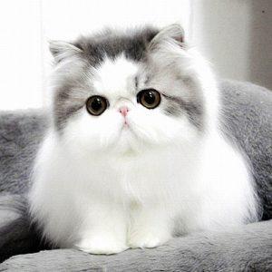 CUTE PERSIAN GREY AND WHITE CAT CATS VENTURE