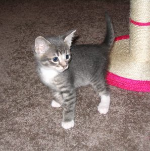 GREY AND WHITE TABBY CATS VENTURE
