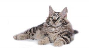 NORWEGIAN FOREST CATS VENTURE