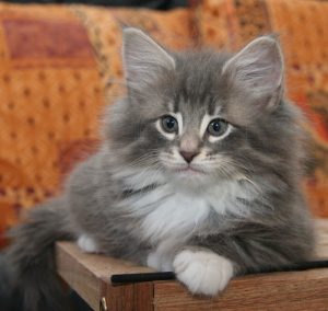 Norwegian forest cat grey and white CATS VENTURE