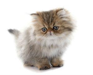 PERSIAN CATS VENTURE