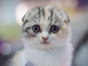 Scottish Fold CATS VENTURE