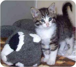 Shorthair CATS VENTURE
