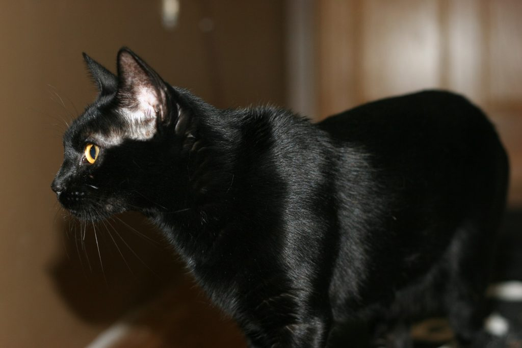 BLACK SAVANNAH CAT