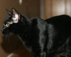 BLACK SAVANNAH CAT
