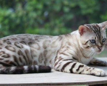 Snow Bengal Kittens