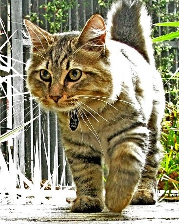 American Bobtail Therapy Cats