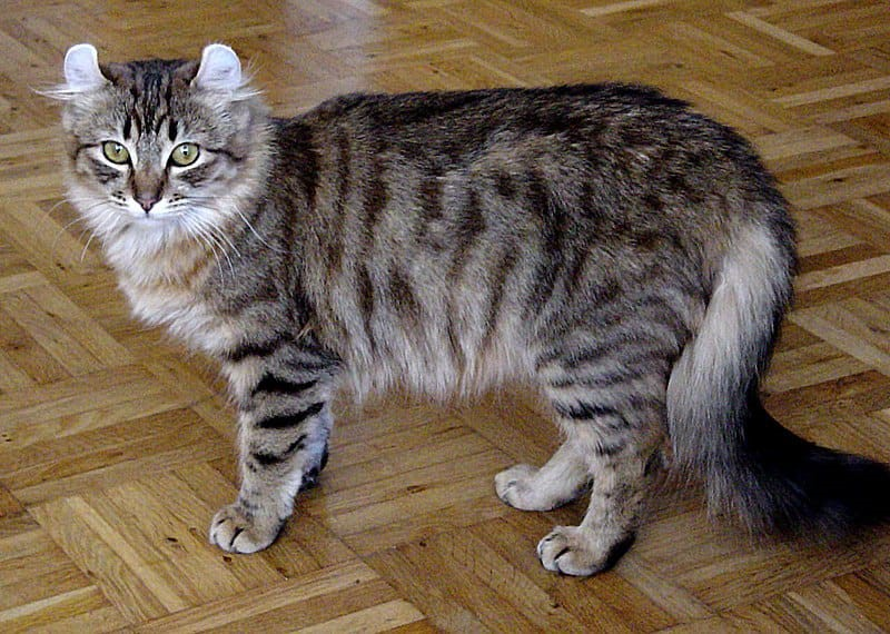 American Curl Have Fluffy Ears