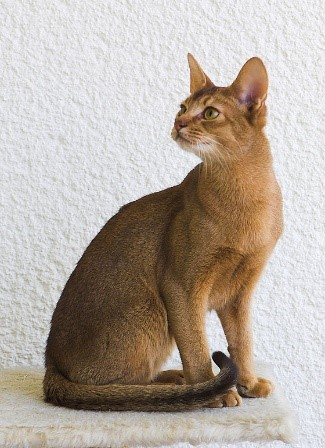 Abyssinian Cats of Pharaoh