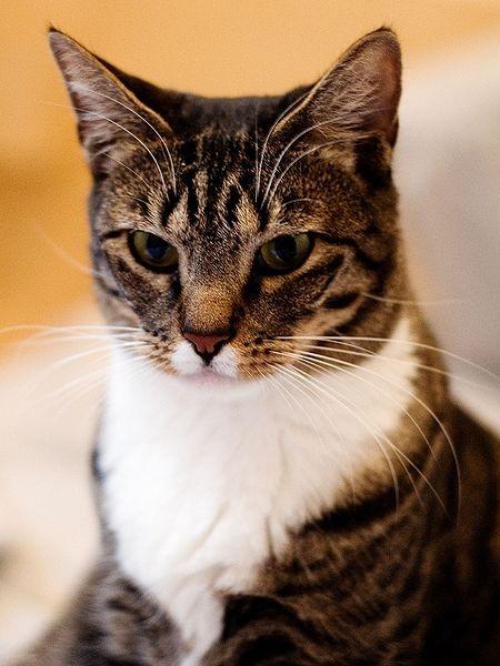 American Shorthair Family Favorite Cat