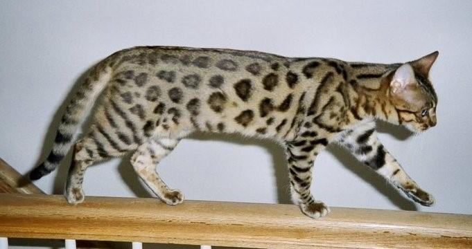 Bengal Smaller Version of Leopard