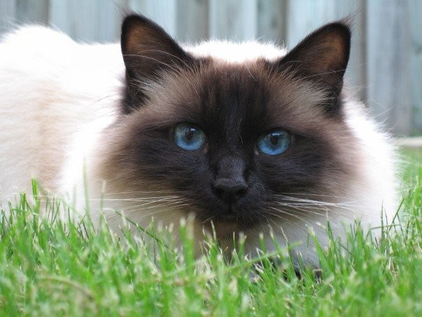 Birman Sacred Cat of Burma