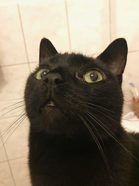 Bombay  Black Cats