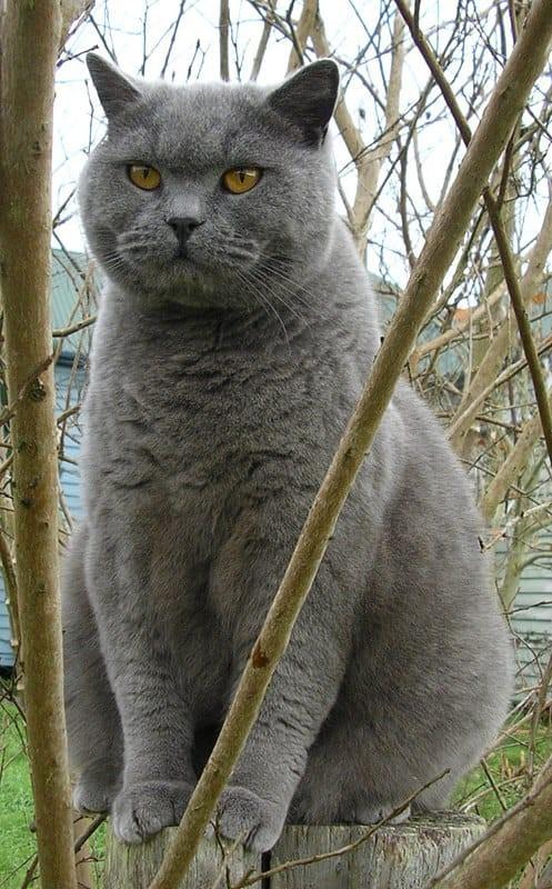 British Shorthair Sweet and Loving Nature Cats