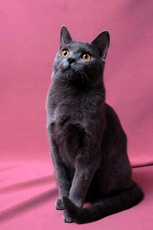 Chartreux Moody Cats