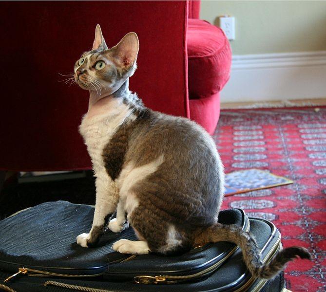 Devon Rex Perfect  Lap Cats