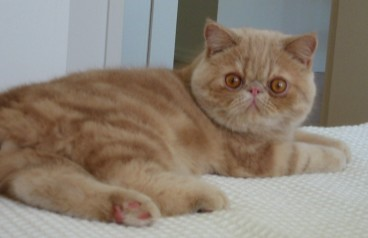 Exotic Shorthair Loving Cats