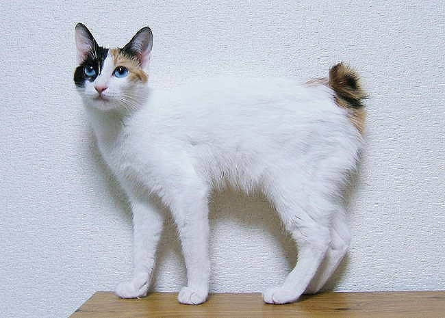 Japanese Bobtail National Cats of Japan