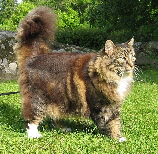 Norwegian Forest Cats with Thick Coat