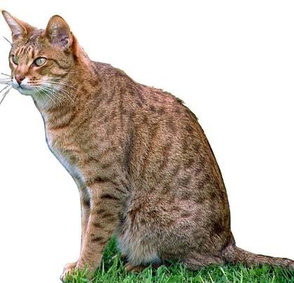 Ocicat Social Cats