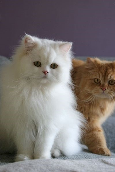 Persian Expensive Cats