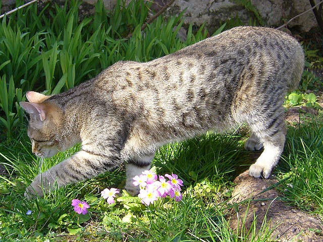 Piexebob From Progeny of Natural Bobcat Hybrid