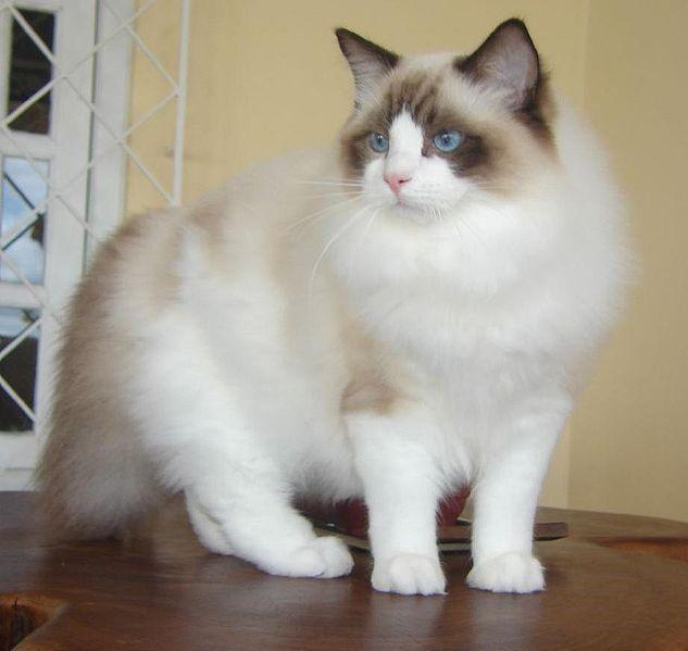 Ragdoll Perfect Lap Cat
