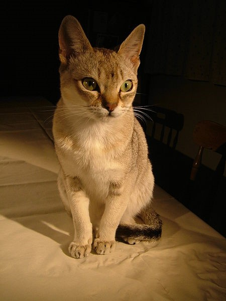 Singapura Short Cats Breed