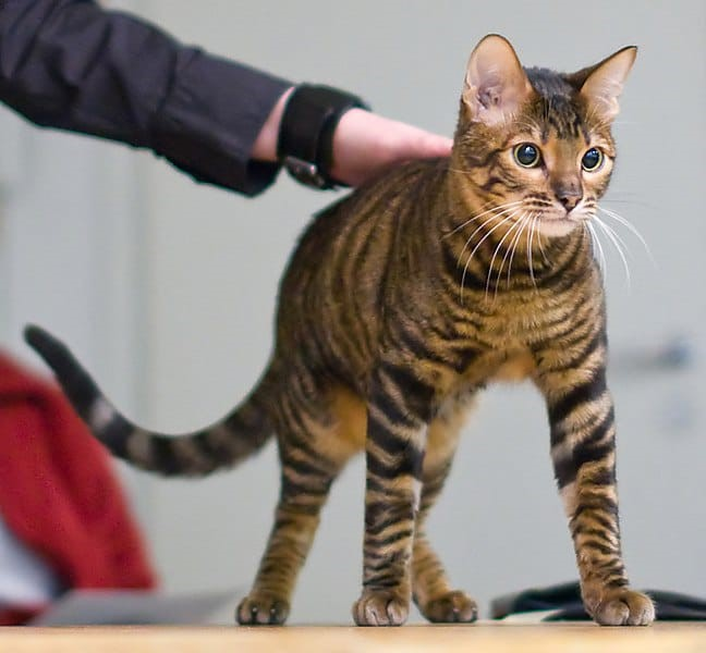 Toyger Toy Tiger