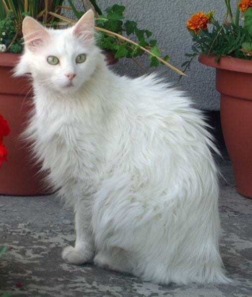 Turkish Angora Ankara cats