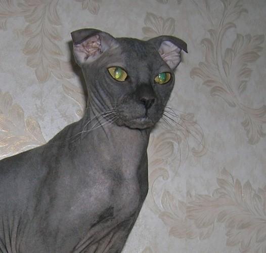 Ukrainian Levkoy Dog Like Cats