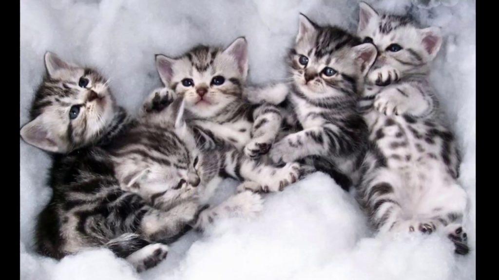American Short Hair Cat Breed info