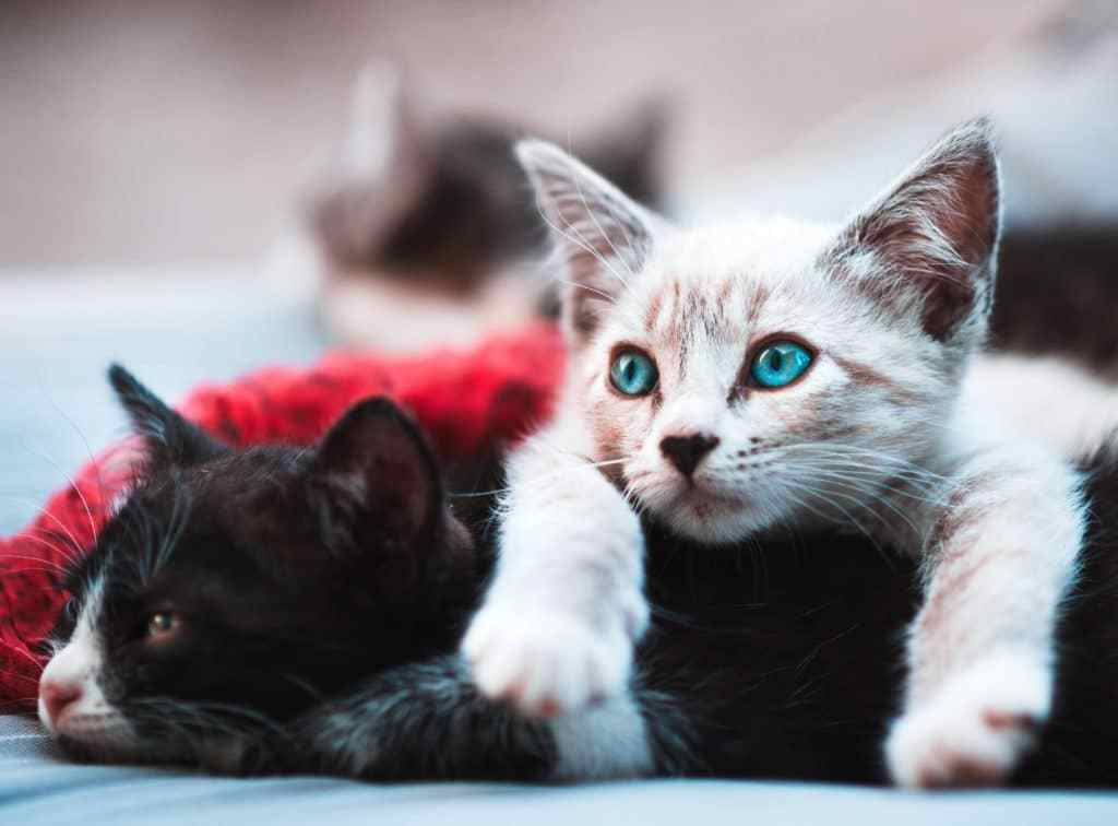 Scabiesin cat