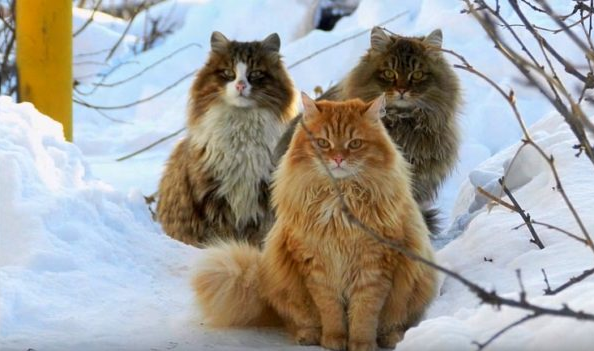Siberian forest cat breed Information